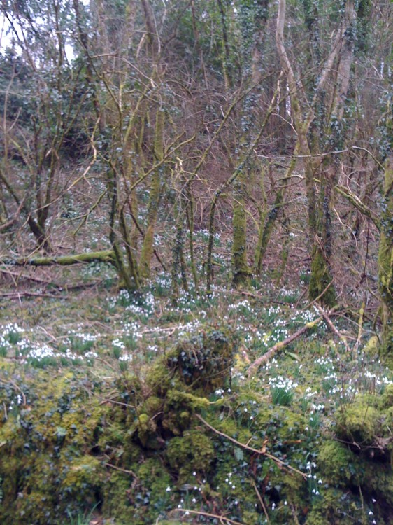 Snowdrops on the Gay Mother's 86th Birthday