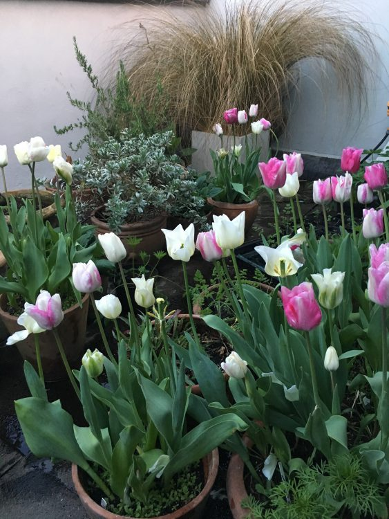 The Top Terrace Tulips: Shirley, Cheers and Spring Green Intended. No Idea What this Pink Thing is