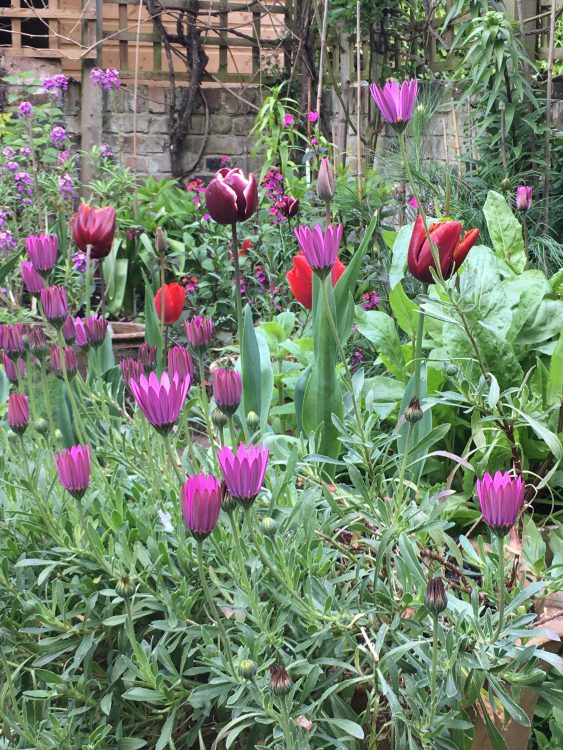 All the Right Tulips: Couleur Cardinal, Abu Hassan, Arabian Mystery and Bleu Aimable: according to catalogue supposed to flower at different times