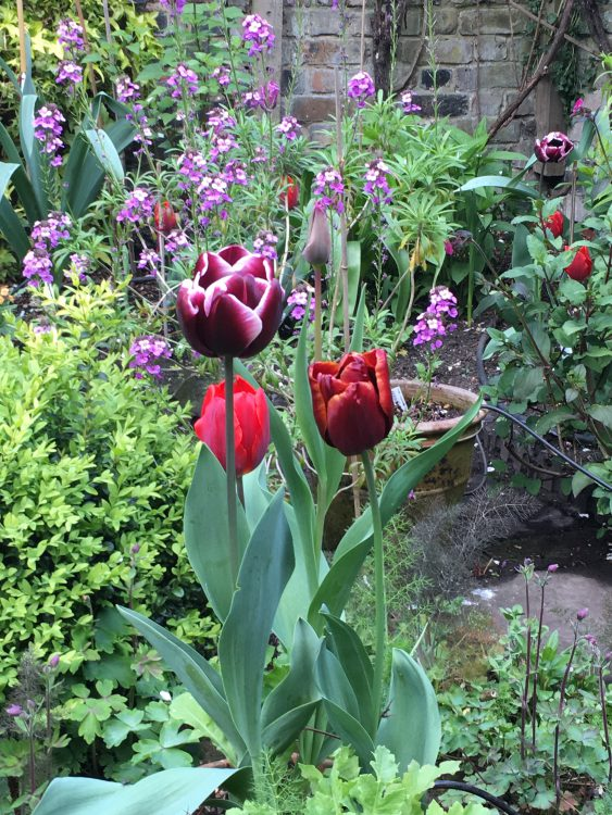 The Back Garden: the Right Tulips: Couleur Cardinal, Arabian Mystery, Bleu Aimable, Abu Hassan (otherwise known as Abu Hamaz). The Gay Mother had Overspill, but Didn't Like Arabian Mystery. Liked Bleu Aimable.