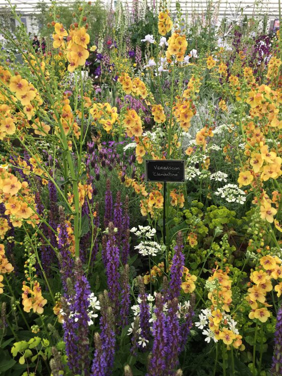 Verbascum Cotswold Queen: Chelsea's Most Important Message this Year