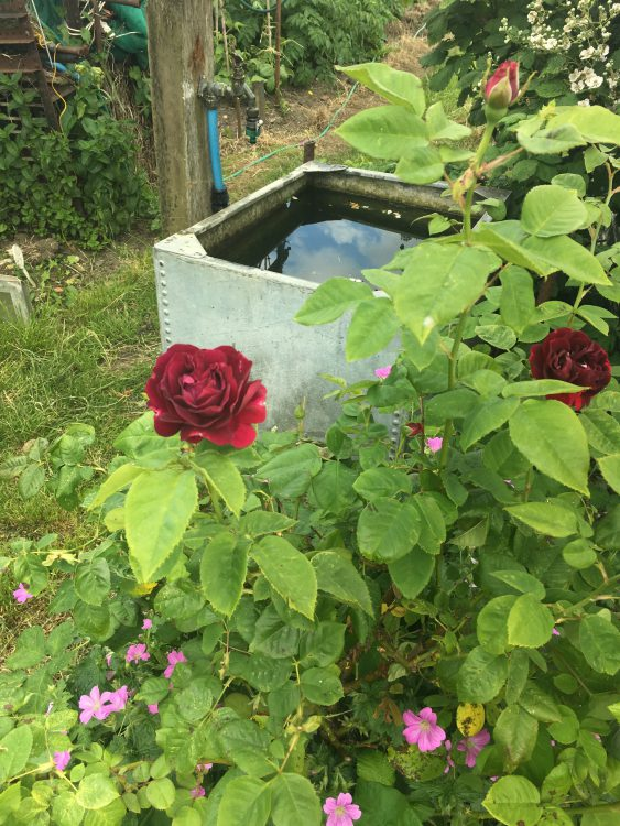 Merle Barr Allotment: Traditional Water Tank and Roses
