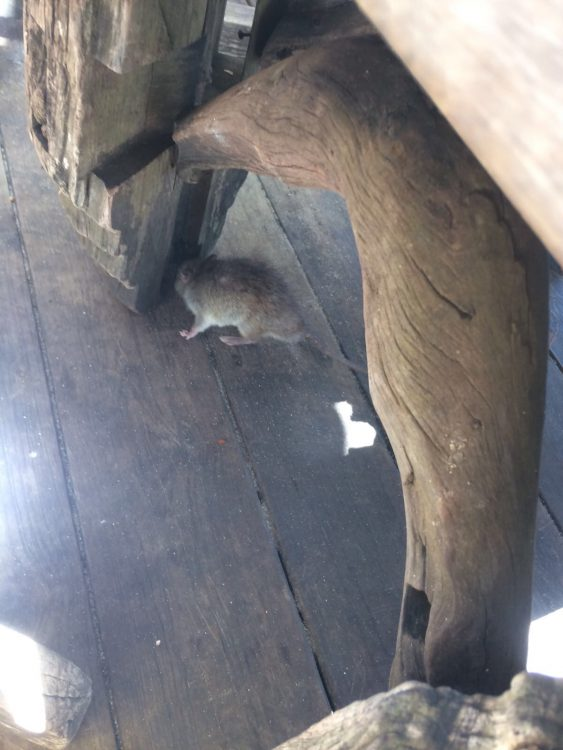 Rat Under Table at Luncheon in St Lucia