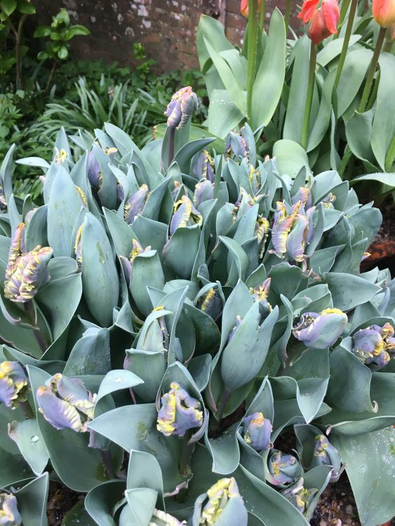 Dixter Tulips: Too Many at Once, Plus Weird kind of Anti-Tulip