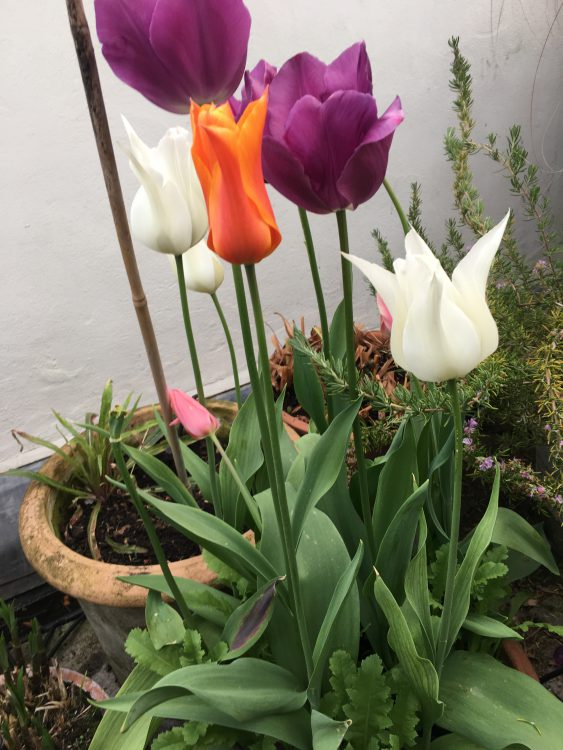Top Terrace Tulips: Entirely the Wrong Ones: Ballerina the Only Hit: Otherwise was Meant to Be Sapporo, which is an Interesting Primrose Yellow. No Third Intended so What's that Purple?