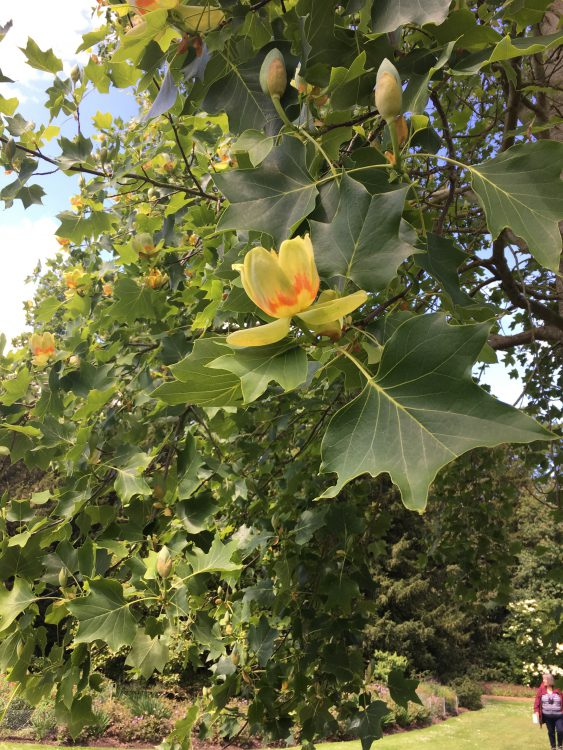 A Tulip Tree at Frogmore: I've Never seen its Flowers before