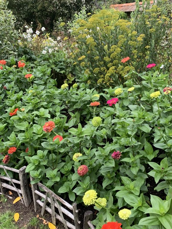 New Trend: Giant Zinnias