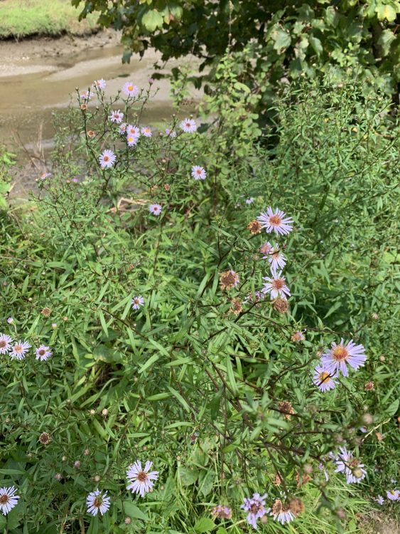 The Sea-Asters recovering from the Gamekeeper