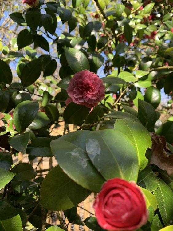 The Saville Garden: Secret Camillias