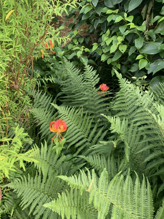 My Favourite Dixter Moment of 2021 - a Lily growing among Ferns