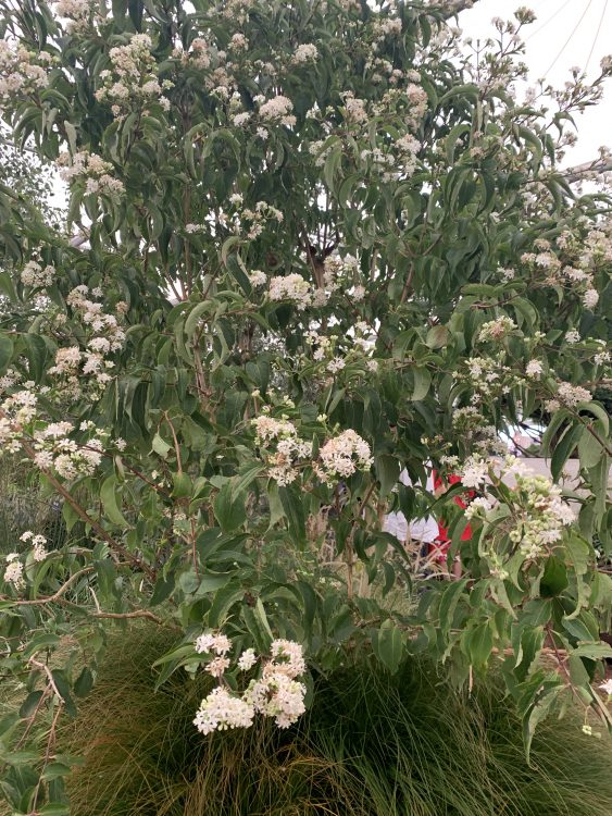 Tree of the Show: Heptacodium Miconioides: Flowers in September